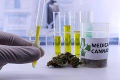 Brotes de prueba de la marijuana para la extracción del aceite del cáñamo imágenes de archivo libres de regalías