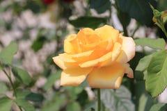 Brotes de rosas amarillas en el jardín Imagenes de archivo
