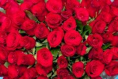 Brotes de rosas rojas Fotografía de archivo libre de regalías