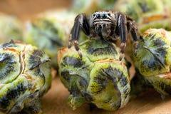 Brotes de salto de la araña y del thuja Fotos de archivo libres de regalías