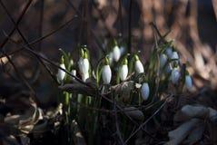 Brotes de Snowdrop Fotografía de archivo