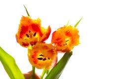 Brotes de tulipanes Foto de archivo