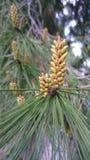 Brotes del árbol de pino en la primavera Fotos de archivo