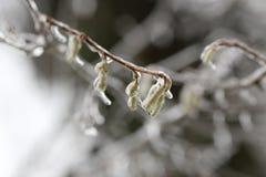 Brotes del abedul cubiertos con hielo Los efectos de la tormenta de hielo, lluvia Fotos de archivo libres de regalías