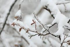 Brotes del abedul cubiertos con hielo Los efectos de la tormenta de hielo, lluvia Fotos de archivo