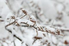 Brotes del abedul cubiertos con hielo Los efectos de la tormenta de hielo, lluvia Fotografía de archivo
