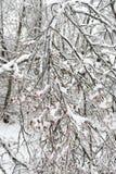 Brotes del abedul cubiertos con hielo Los efectos de la tormenta de hielo, lluvia Imagenes de archivo