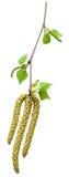 Brotes del abedul de la primavera aislados en un blanco Imagen de archivo libre de regalías