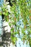 Brotes del abedul de la primavera y árbol de abedul blanco Fotografía de archivo