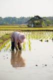 Brotes del arroz de la planta del granjero del arroz foto de archivo libre de regalías