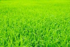 Brotes del arroz del campo en país tailandés. Fotografía de archivo