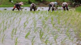 Brotes del arroz en el establecimiento de la granja y de los granjeros Fotografía de archivo libre de regalías