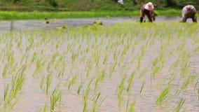 Brotes del arroz en el establecimiento de la granja y de los granjeros Fotos de archivo libres de regalías