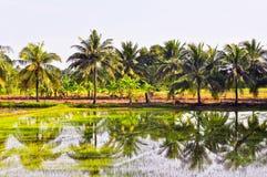 Brotes del arroz en la granja. Fotografía de archivo libre de regalías