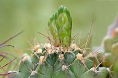 Brotes del cactus de flores Imágenes de archivo libres de regalías