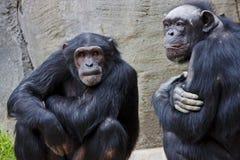 Brotes del chimpancé Imagen de archivo