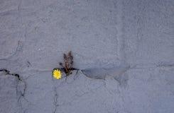 Brotes del diente de león a través del piso concreto El símbolo de la lucha y de la resistencia Concepto: no abandone no importa  foto de archivo libre de regalías