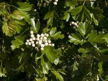 Brotes del flor del espino Imagenes de archivo