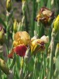 Brotes del iris Foto de archivo