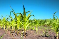 Brotes del maíz verde Imágenes de archivo libres de regalías