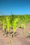 Brotes del maíz verde Foto de archivo libre de regalías