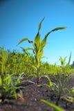 Brotes del maíz verde Imagen de archivo libre de regalías
