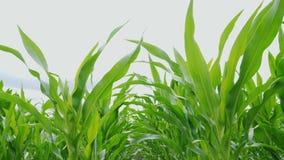 Brotes del maíz verde almacen de video