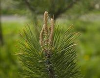 Brotes del pino Fotografía de archivo