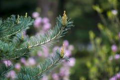 Brotes del pino de la primavera Fotografía de archivo