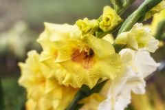Brotes del primer amarillo y blanco del gladiolo iluminado por el sol imagen de archivo