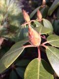 Brotes del árbol de la magnolia Imagenes de archivo
