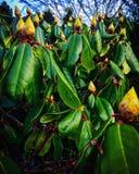 Brotes del rododendro Fotografía de archivo