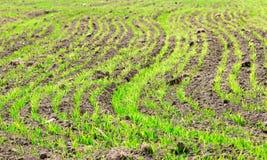Brotes del Secale Cereale en un campo Imagen de archivo