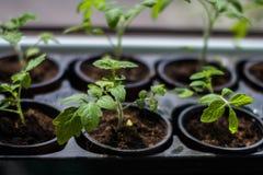 Brotes del tomate en potes en casa Imágenes de archivo libres de regalías