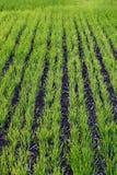 Brotes del trigo en campo Foto de archivo libre de regalías