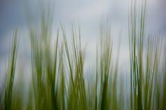 Brotes del trigo verde en el campo contra Fotografía de archivo libre de regalías