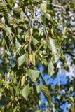 Brotes en el árbol de abedul Imagen de archivo libre de regalías