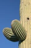 Brotes en el cacto del Saguaro Fotografía de archivo libre de regalías