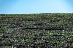 Brotes en filas en el campo en verano foto de archivo