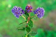 Brotes en la floración Fotografía de archivo