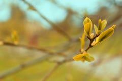Brotes en las ramas Fotografía de archivo
