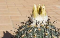 Brotes en un cactus amarillo de la bola de Coryphantha foto de archivo