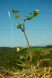 Brotes en un pequeño árbol de la uva Imágenes de archivo libres de regalías