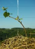 Brotes en un pequeño árbol de la uva Imagen de archivo