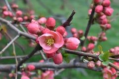 Brotes florecientes del árbol Fotografía de archivo