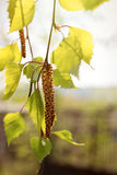 Brotes florecientes del abedul en la luz del sol Fotografía de archivo libre de regalías