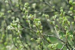 Brotes florecientes en ramas del arbusto Imagenes de archivo