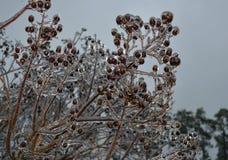 Brotes helados del árbol Fotografía de archivo libre de regalías