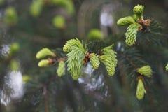 Brotes hermosos de árboles coníferos Imagen de archivo