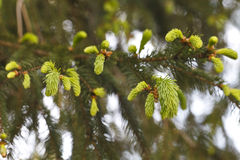 Brotes hermosos de árboles coníferos Fotografía de archivo libre de regalías